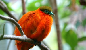 orange_dove